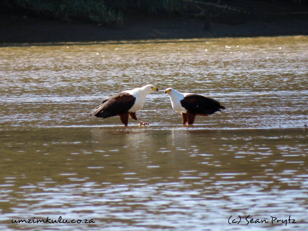 The famous fish eagles living in the Umzimkulu River Valley are really well photographed (c) Sean Prytz